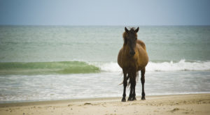 Most People Don't Know The Enchanting Story Behind North Carolina's Wild Horses
