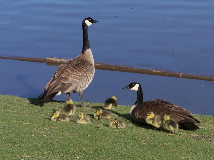 In the spring, visitors enjoy watching baby ducks and geese learn to swim.
