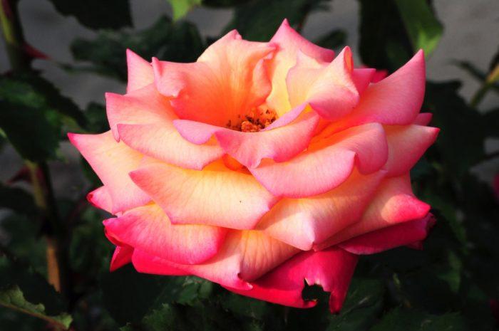 5. All American Rose Garden