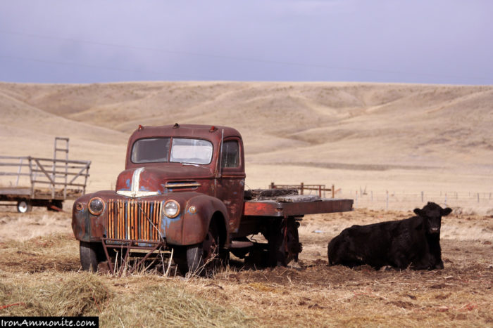 An old, abandoned truck has a cow to keep it company.