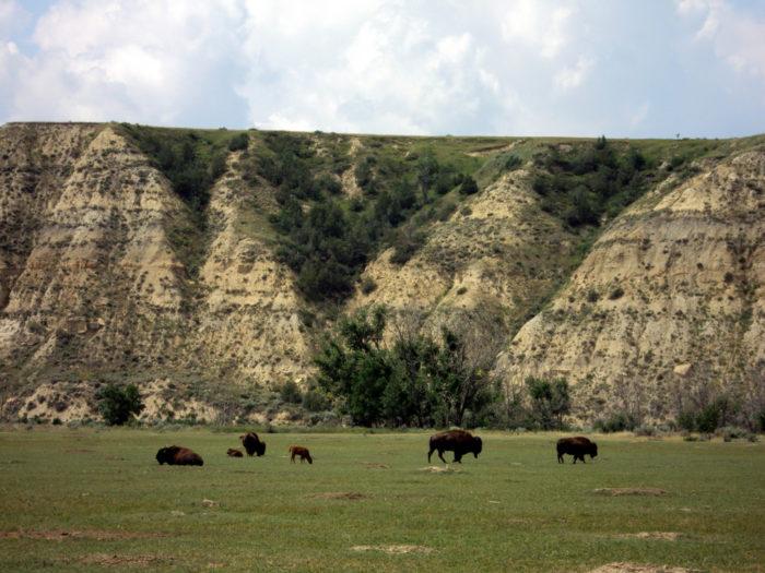 Where the buffalo truly roam