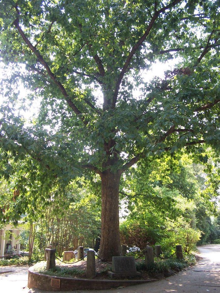 1. The Tree That Owns Itself—Athens, Georgia