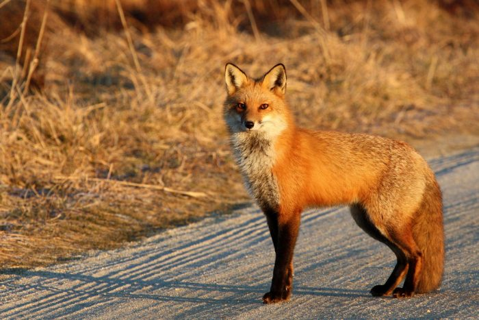 If you're lucky, you might see a fox up close.