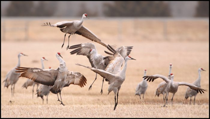 2. The annual sandhill crane migration is a great way to learn about animal behavior.