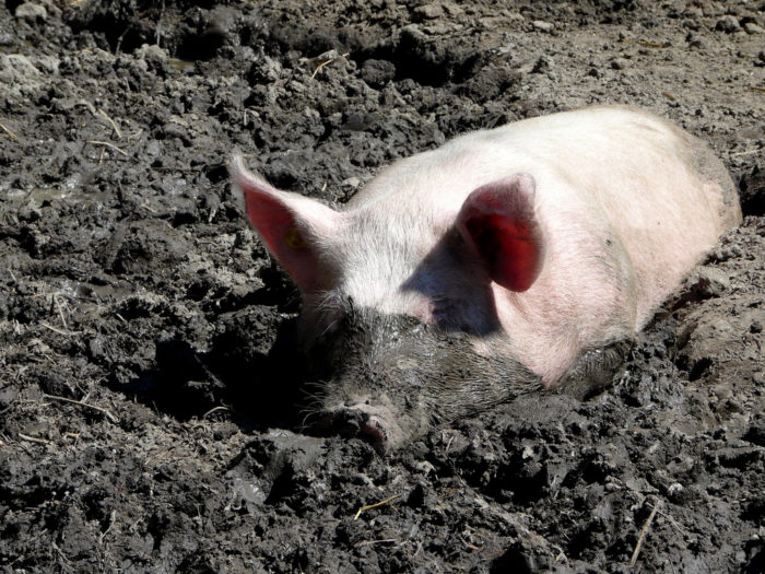 """2. """"That kid is as happy as a pig in mud."""" (Or the more popular, """"happy as a pig in . . . excrement."""")"""