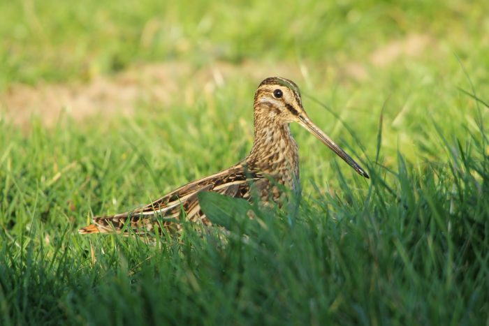 16. That snipe hunting is actually real