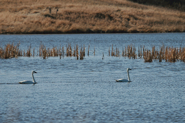 And, of course, the many birds you can spot at the lake. Here are some swans photographed there.