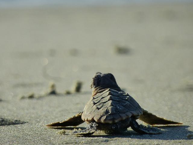 13. Catch a Turtle Walk on Jekyll Island