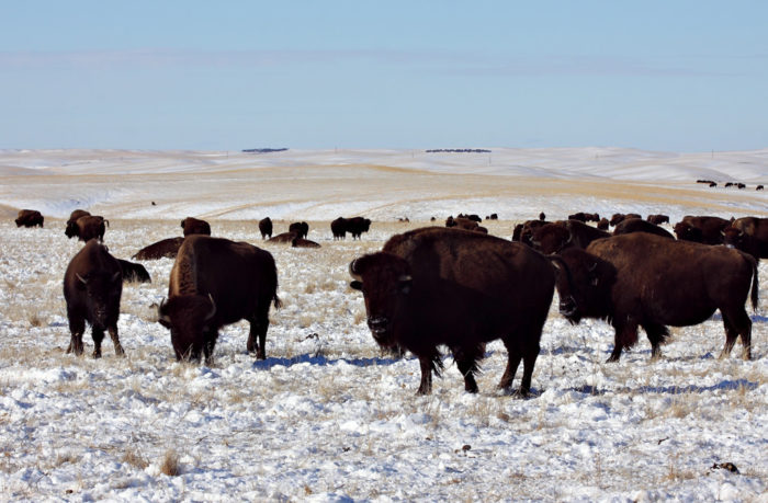 Today, you'll find way more bison than people in this part of the state.