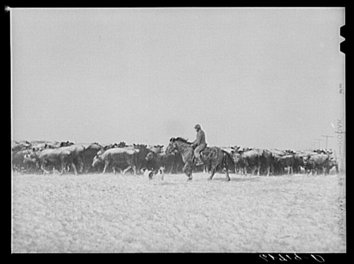 "3. ""Rounding up cattle during the first stages of blizzard. Lyman County, South Dakota,"" 1940"