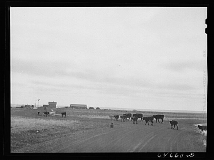 "8. ""Cows going home. Ziebach County, South Dakota,"" 1942"
