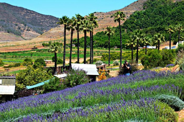7. Lavender Fields