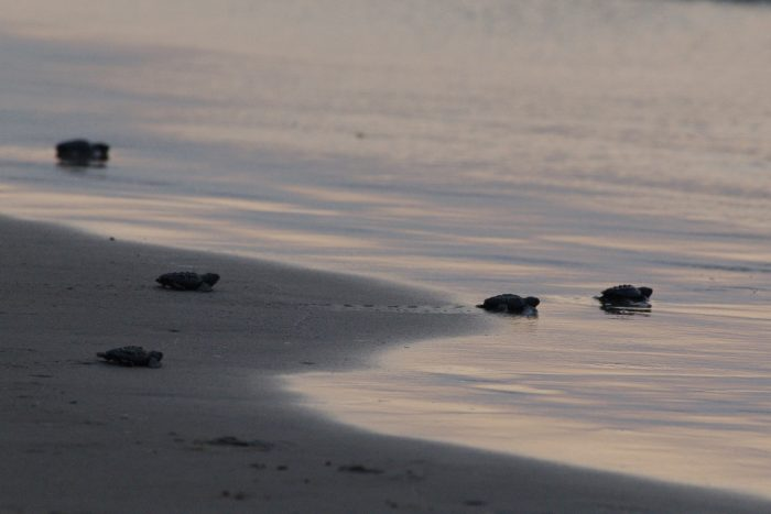 2. Witnessing the adorable hatching of one of the rarest species of sea turtle. (Padre Island)