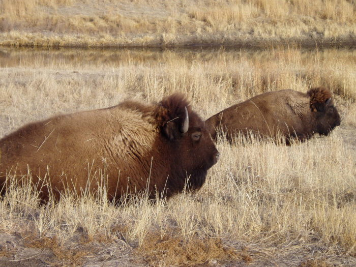 The preserve has a sizable bison herd that was introduced in 1985.