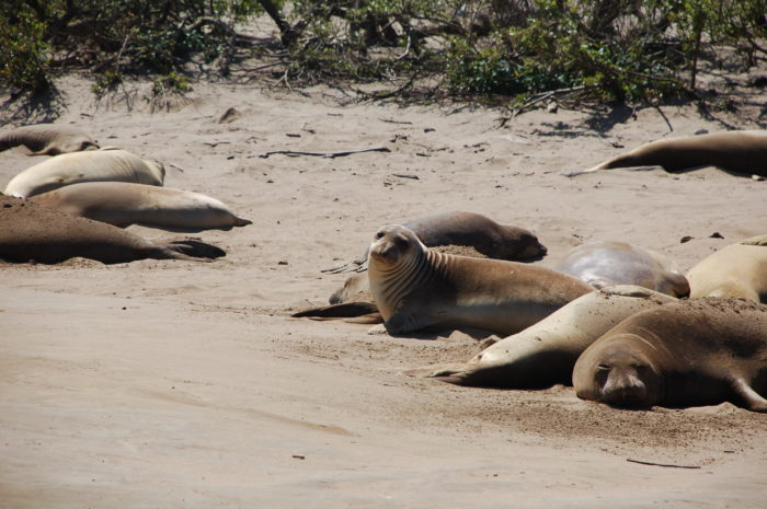 For more small-town charm, head about 14 miles south to Pescadero and visit the elephant seals at Ano Nuevo State Park.