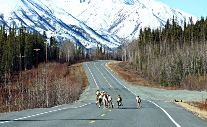 7. You will probably think Alaska-style traffic jams are adorable for your first year or two, tops.