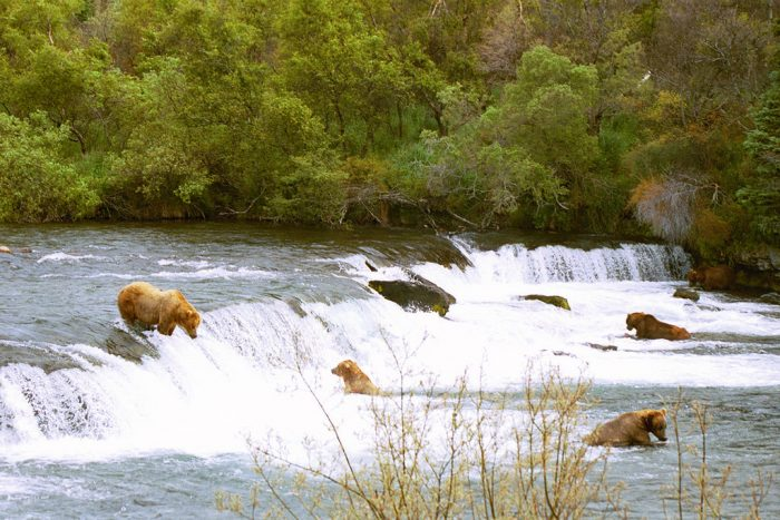 12. Watch massive bears feed on salmon at Brooks Falls.