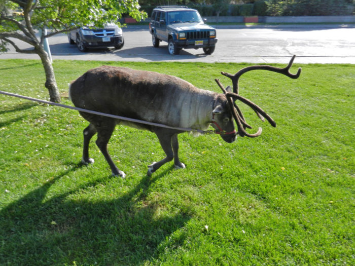 15. That one neighbor who takes his pet reindeer for walks.