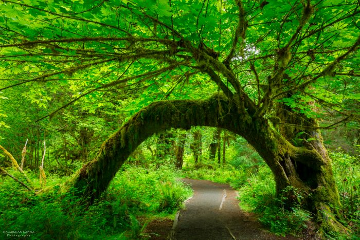 Hoh Rain Forest, Olympic NP