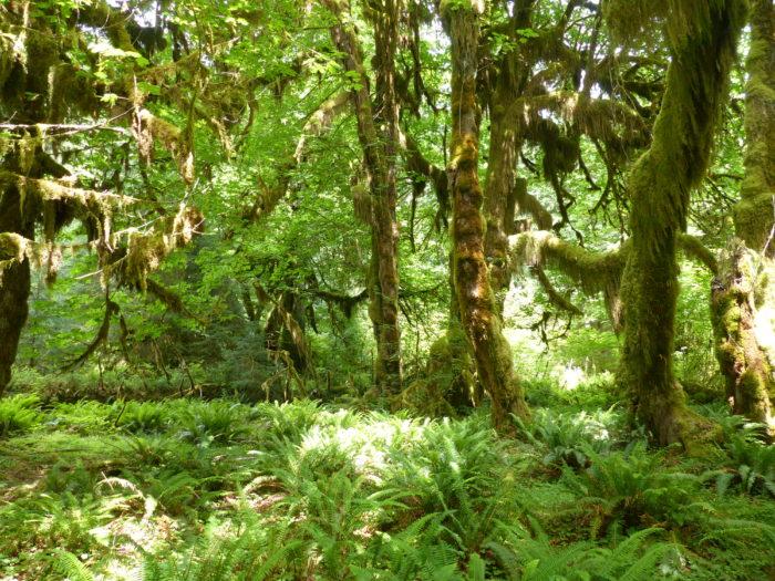 Hoh Rainforest-14718679513