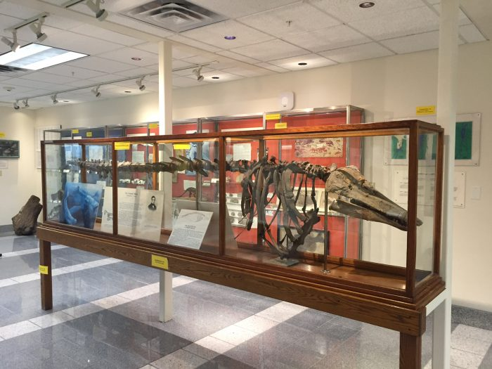 2.  Charlotte Whale, Perkins Museum of Geology at UVM in Burlington
