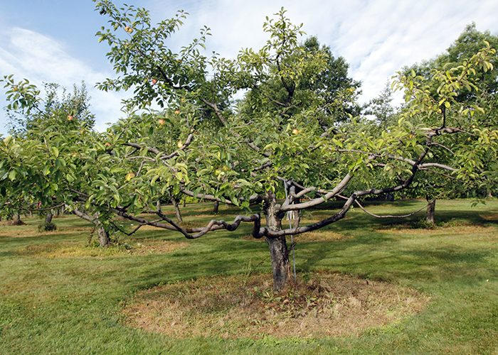The Frank L. Harrington Sr. Orchard is home to over 230 trees of pre-20th-century apple varieties. That's a lot of pies.