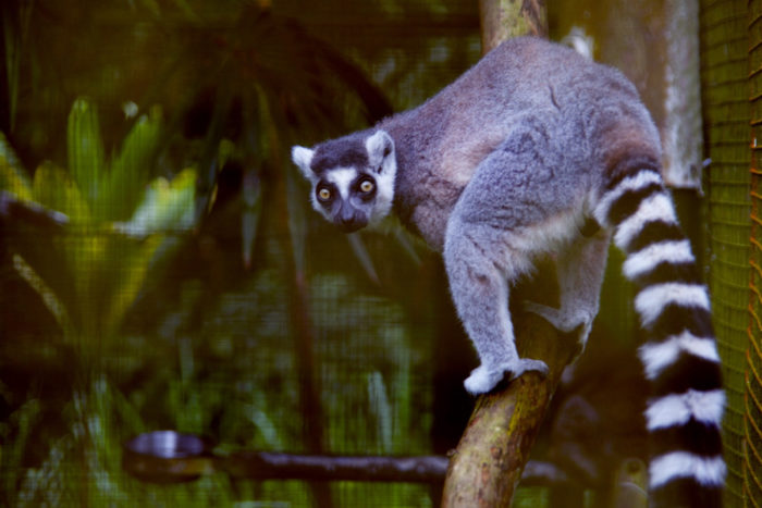 From ring-tail lemurs of Madagascar and sloths to anteaters and a variety of butterflies, the zoo's residents are quite unique.