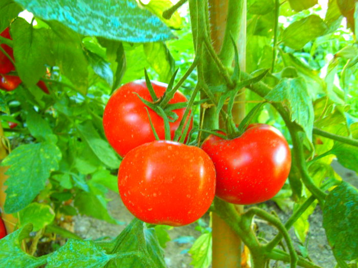 7. Because there's nothing like finding the perfect tomato before the birds find it.