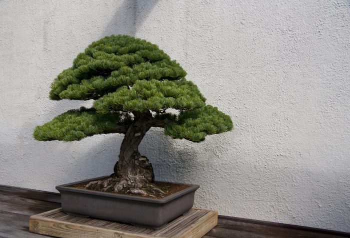 The Bonsai collection is one of the most popular attractions at the Arboretum, which features a stunning collection of Bonsai trees.