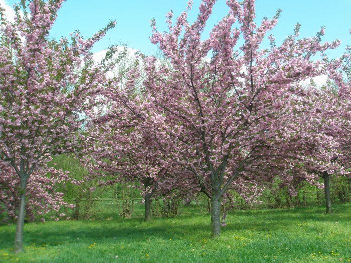 1. Cherry blossom season