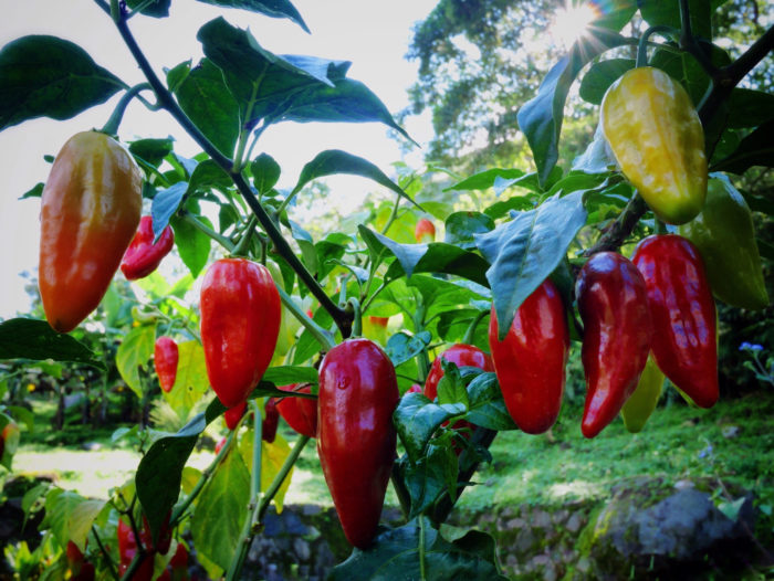 10. Servings of the same kind of chile pepper can vary in terms of heat.