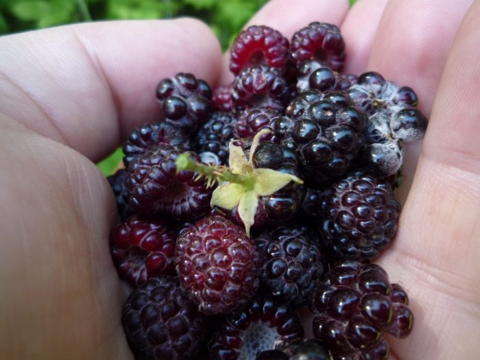 10. Let's Go Berry Picking in Camino!