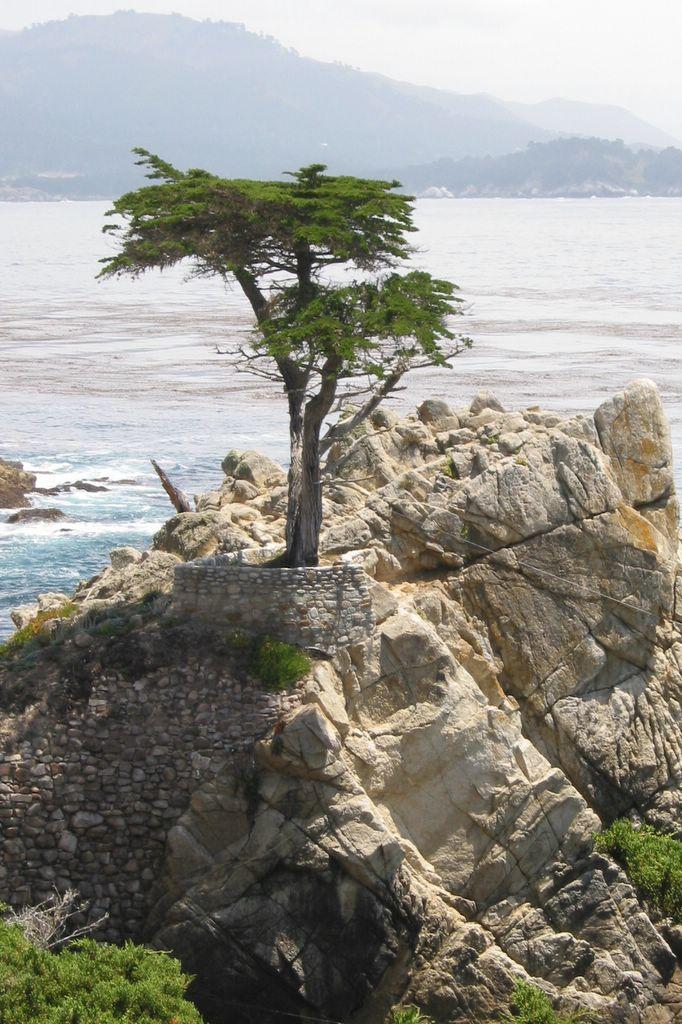 Monterey Cypress AKA Cupressus macrocarpa