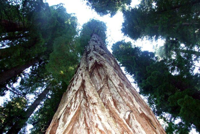 1. Redwood Trees over palm trees all day long.