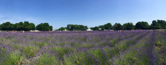 Instantly bringing a calm over you, you'll quickly appreciate the aroma of the fresh lavender.