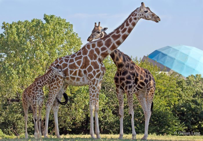 Start your adventure at one of the top zoos in the country...The Oklahoma City Zoo and Botanical Garden.
