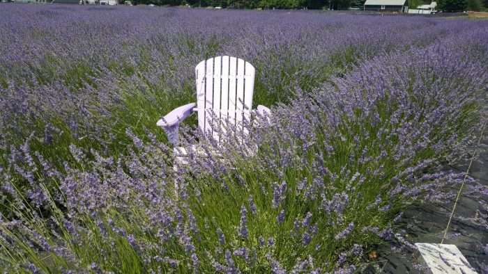 On the 17-acre property, you'll be able to see 20 varieties of lavender.