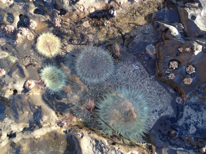 Check out the colorful sea life in the many tidepools around Half Moon Bay's beaches.