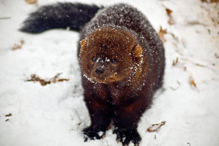1200px-Fisher-face-snow_-_West_Virginia_-_ForestWander