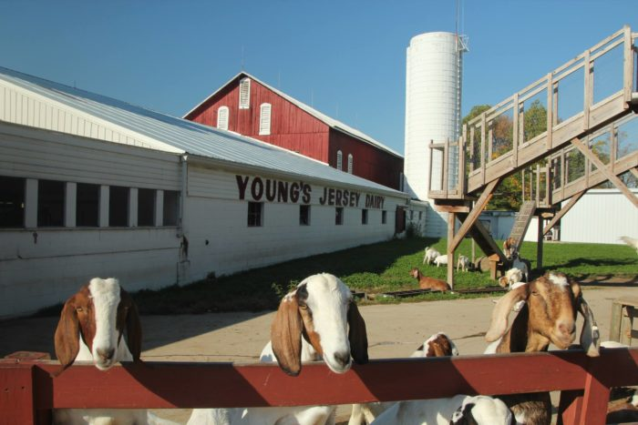 Since this is a working dairy farm, there are plenty of farm animals to pet while you're here, (which we know kids love.)