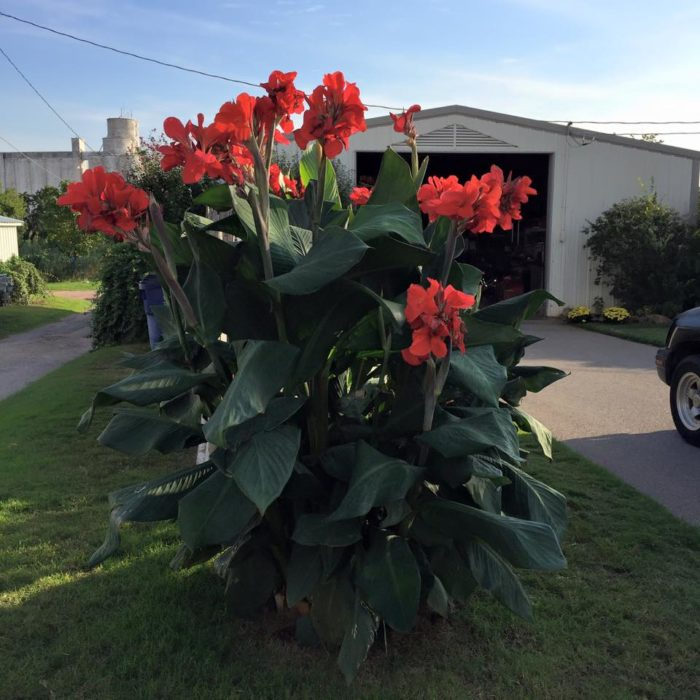 The most popular canna at Horn Canna Farm is the President and they can be seen all around when visiting the farm.
