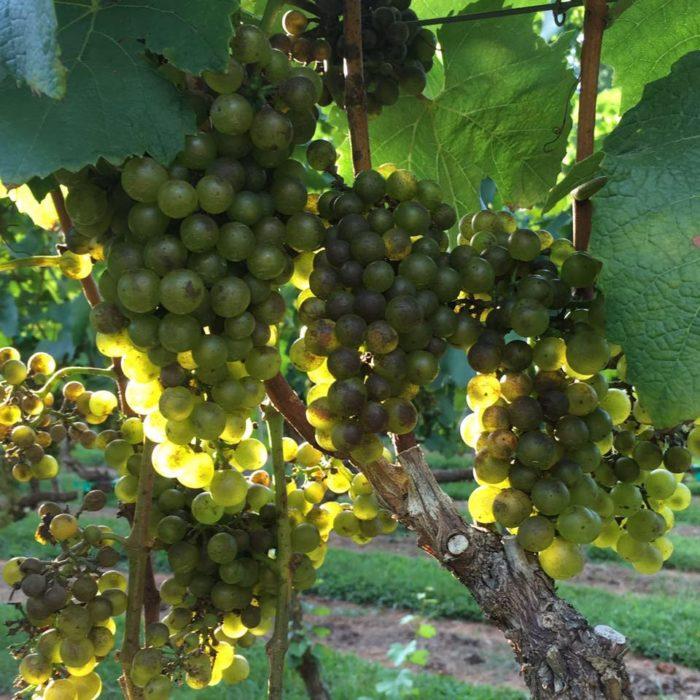 4. Victoria Valley Vineyards
