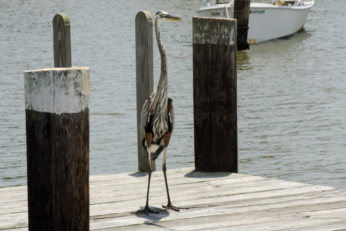 It's not uncommon to spot a majestic great blue heron...