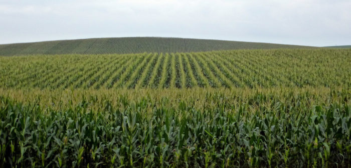 9. This is a classic view of a cornfield near Winside.