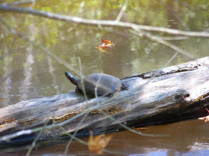 You'll pass by several small streams and just may spot a curious turtle or two.