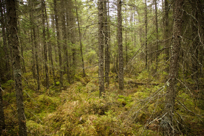 This forest is definitely unique, and you'll love exploring an area different than many others in MN, with pines, shrub swamps, peatlands, and bogs that are much more beautiful than they sound!