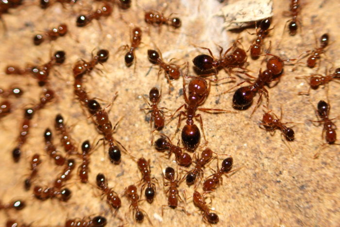 9. The red fire ant was first introduced to the U.S. during the 1930s, through the Port of Mobile.