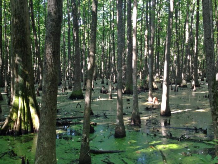 As you stroll across the boardwalk, you'll see some incredible scenery. This expansive, well-preserved swamp is unique in Arkansas.
