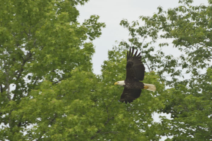...like this bald eagle, for example.