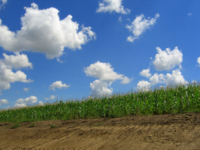 2. The corn in this Lancaster County field stands tall and proud.